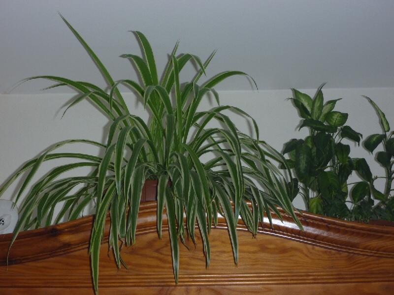 Plante Araignée Chloro11