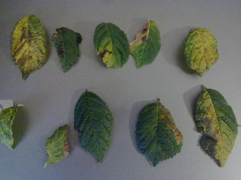 Problema foglie P.Tomentosa 08082010