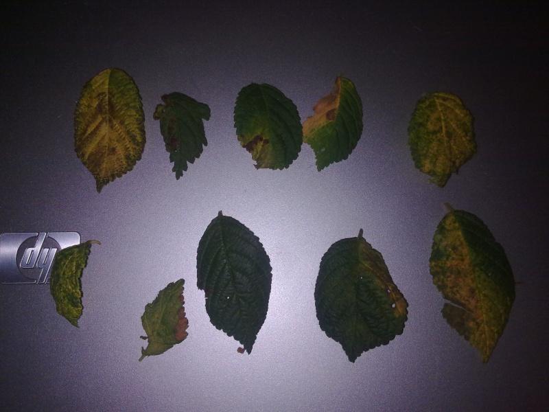 Problema foglie P.Tomentosa 08082011
