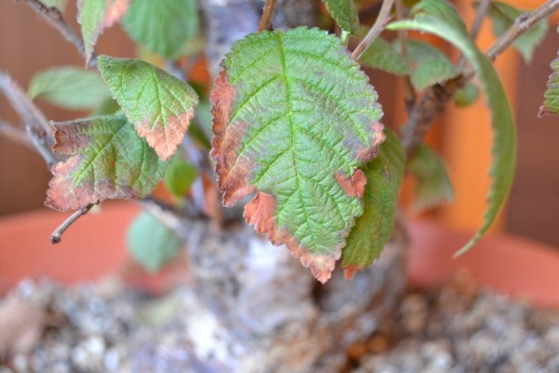 Problema foglie P.Tomentosa Dsc_0011