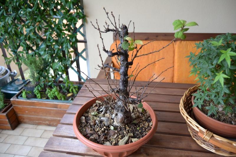 Problema foglie P.Tomentosa Dsc_0014