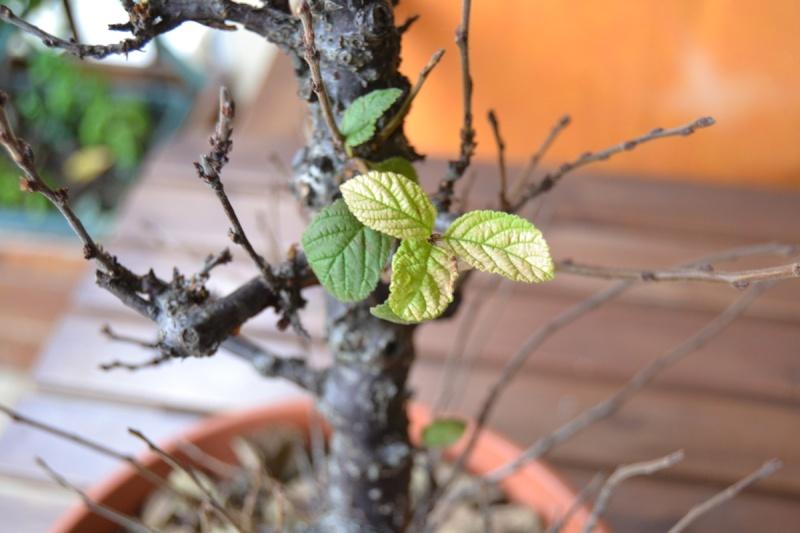 Problema foglie P.Tomentosa Dsc_0015