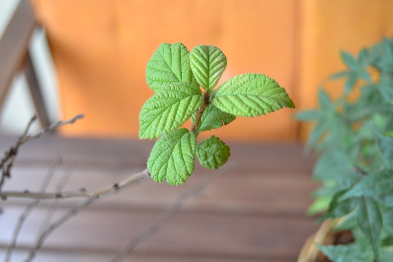 Problema foglie P.Tomentosa Dsc_0016