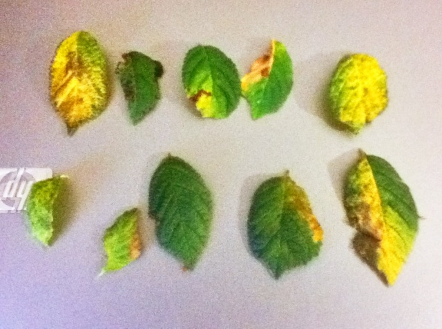 Problema foglie P.Tomentosa Img_0310
