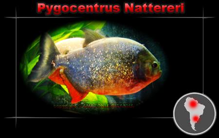 [Fiche de maintenance] Pygocentrus Nattereri Pygoce10
