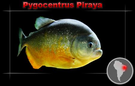 [Fiche de maintenance] Pygocentrus Piraya Pygoce12
