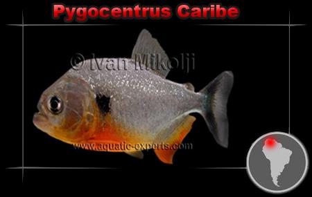 [Fiche de maintenance] Pygocentrus Caribe Pygoce13