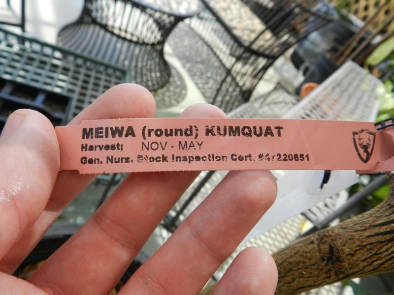 Kumquat as Bonsai? 00121