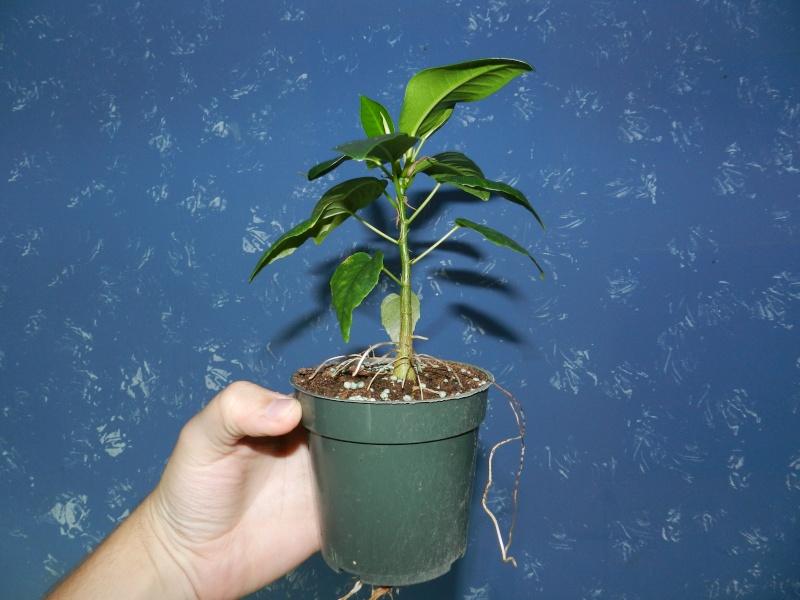 How I grow my Ficus 00524