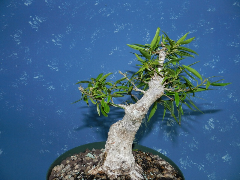 Thoughts on this Willow Leaf Ficus? 01112