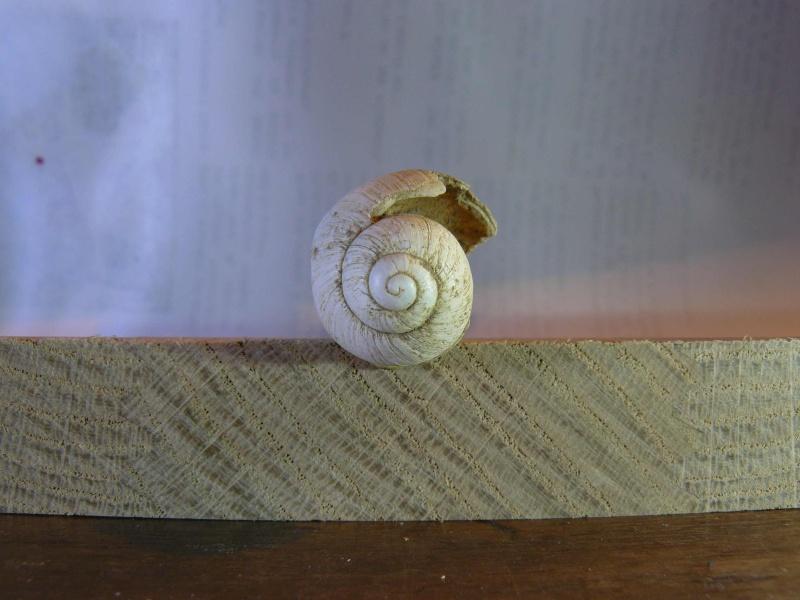 """Gastéropode """"fossile"""" Gaster22"""