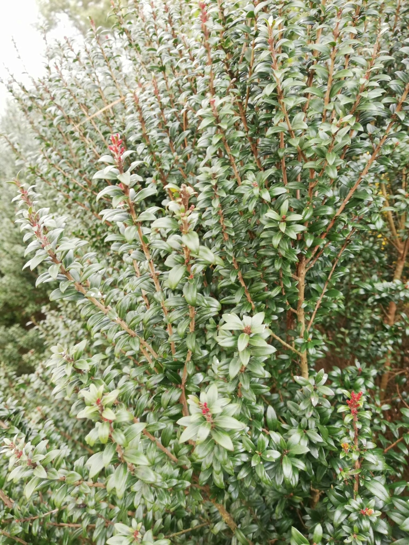 Quel sont ces arbustes ? 16237010