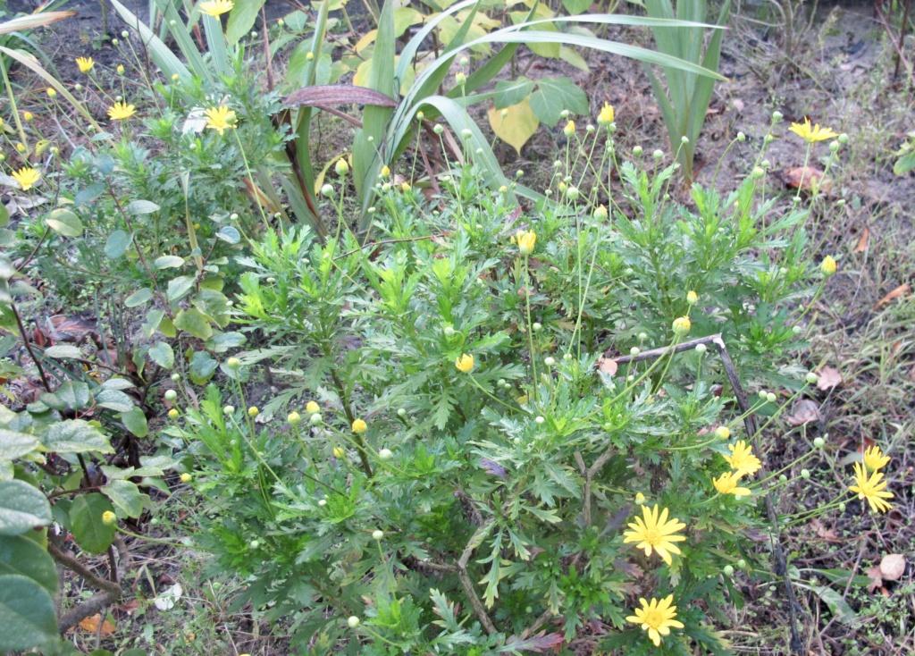 euryops chrysanthemoides  Fullsi36