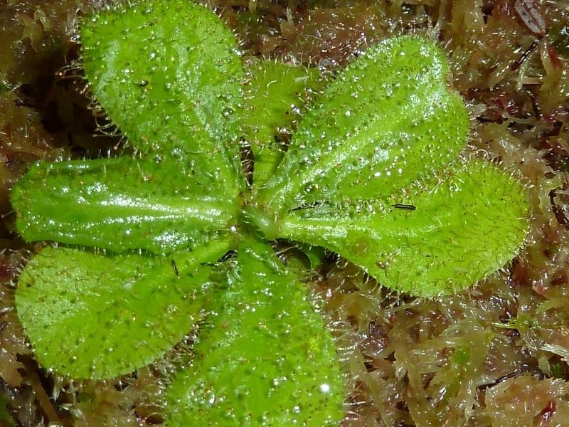 Drosera Schizandra et Prolifera  P1010720