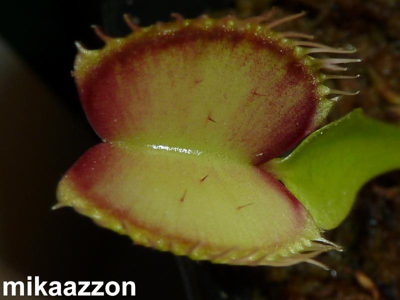 Les plus gros cultivars de dionées . P1020321
