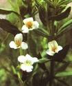 Энциклопедия лекарственных растений 054-110