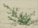 Солянка холмовая (Salsola collina) 10374010