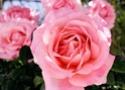 Роза дамасская (Роза казалинская) 12481810