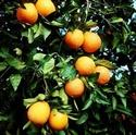 Померанец, бигаррадия, Горький апельсин 12627810