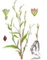Горец перечный, или водяной перец (лягушачья трава) 310