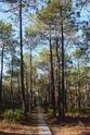 Сосна́ примо́рская (лат. Pinus pinaster) 402px-10