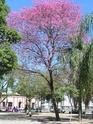 Пау д'арко-рохо, или Муравьиное дерево 450px-11
