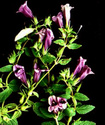 Энциклопедия лекарственных растений Adenos10