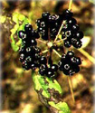 Энциклопедия лекарственных растений Akanto10