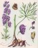 Энциклопедия лекарственных растений Akonit10