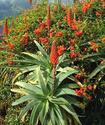 Энциклопедия лекарственных растений Aloedr10