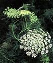 Энциклопедия лекарственных растений Ammi11
