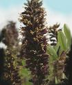 Энциклопедия лекарственных растений Amor10