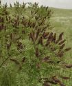 Энциклопедия лекарственных растений Amorfa10