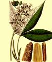 Ангостуровое дерево (галипея лекарственная) Angode10