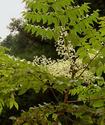 Энциклопедия лекарственных растений Aralia10