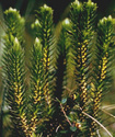 Энциклопедия лекарственных растений Barane11