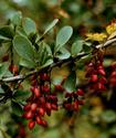 Энциклопедия лекарственных растений Barbar10