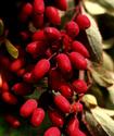 Энциклопедия лекарственных растений Barbar11