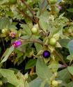 Энциклопедия лекарственных растений Bellad10