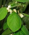 Энциклопедия лекарственных растений Benzoe10