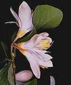Энциклопедия лекарственных растений Benzoe11