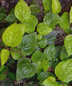 Энциклопедия лекарственных растений Betel10