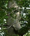 Бук лесной Buk10