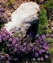 Чабер садовый Chaber10