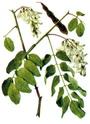 Энциклопедия лекарственных растений D090d013
