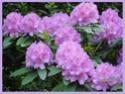 Розовое дерево Aniba rosaeodora D180d010