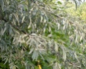 Лох узколистный - Elaeagnus angustifolia L. Elaeag10