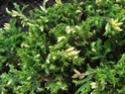 Можжевельник обыкновенный (бружжевельник, еловец, еленица) Ena_3310