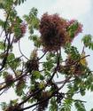 Гагения абиссинская или Дерево козо Gageni10