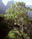 Гагения абиссинская или Дерево козо Gageni11
